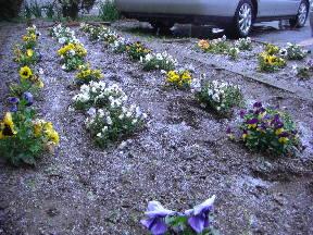 花壇にうっすらと雪が積もりました