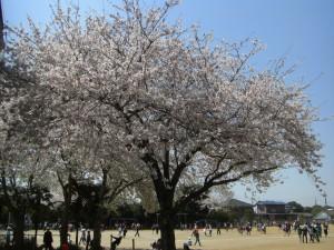 満開の桜の下元気よく遊ぶ子どもたち