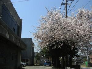 国道51号線沿いの桜\