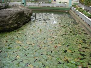 校長室前の池の様子\