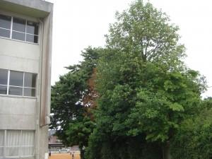 新館校舎西側の木です(一番高い木)\\