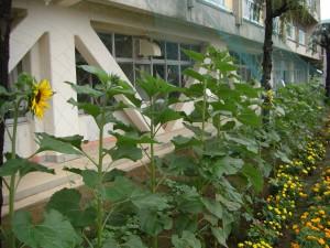 ひまわりの花が咲き始めました