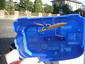 虫かごの中には大きなカマキリがいました!\