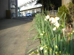 スイセンの花が咲き始めました(8:00)