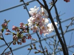 国道51号線沿いの桜が咲き始めました(11:05)