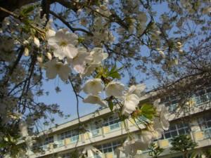 桜と新舘校舎(7:25)