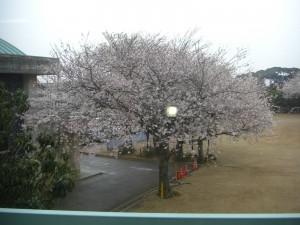 窓の外を見ると・・・満開の桜です!(8:10)