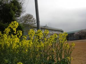 菜の花と新館校舎(8:00)