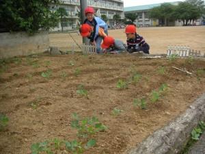 畑で落花生の芽を観察する1年生(10:20)