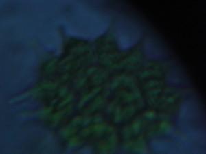本校の池の水・・・クンショウモが見えました【×400】(16:15)