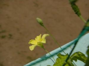 黄色い花が咲いています。(11:00)