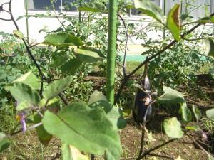 理科室前で栽培している茄子も大きくなりつつあります。(8:05)