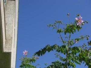 皇帝ダリアの花が咲き始めました(12:20)
