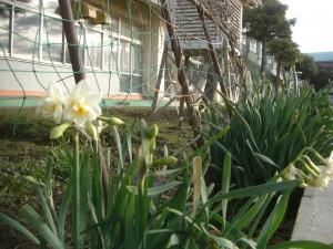 スイセンの花が咲き始めました。(8:00)