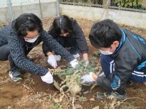 予想以上の大きい桜島大根が出現!