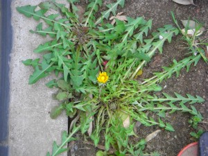 グラウンド脇にあるタンポポの花