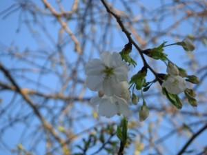 校庭の桜が咲き始めました。(6:10)
