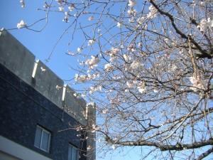 国道51号線沿いの桜と本館校舎(7:30)