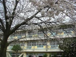 新館校舎と満開の桜(7:50)