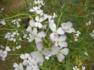 近づいてみると ダイコンの花は ちょうちょのような花ですね。(10:10)