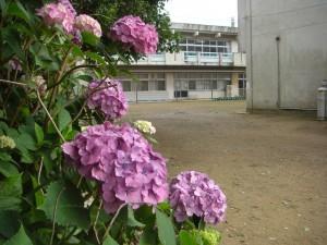 紫陽花と本館校舎(8:00)