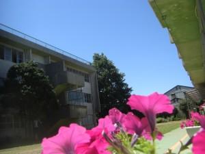 青空とペチュニアの花(11:50)