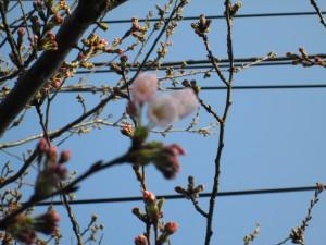 桜の花が咲き始めました。(7:15)
