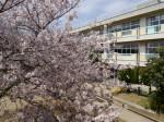 体育館放送室から見えた桜\\