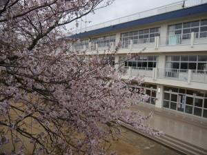 今日の桜の木