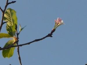 豊津小のサクラが・・・一輪咲いています。\