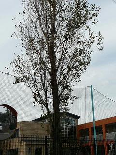 ポプラの葉もだいぶ落ちました。\