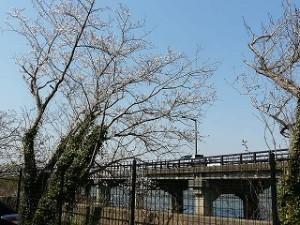 学校裏の駐車場に咲く桜\