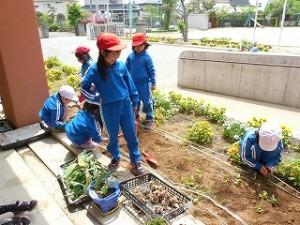 1・2年生 生活科 花壇の植え替え作業 アサガオの種まき\