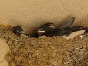 校舎軒下のツバメのひなももうすぐ巣立ちですね!\