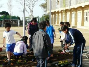 4・5年生による朝の奉仕活動 パンジーの植え替え作業