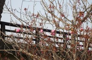 神宮橋から見える見事な八重桜も開花しました。\\\\