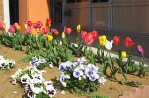 1年生教室前花壇のチューリップです。\\