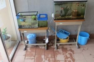 業間の休み時間に2年生・5年生・1年生の有志がメダカの水替えをしてくれました。鯉の水槽から水をもらいました。\