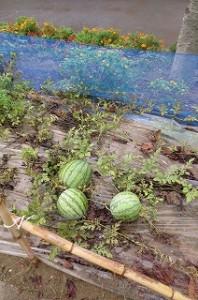 ⒍年生の畑で,7月下旬雌花が咲いたスイカが,9月1日このように大きくなりました。\