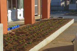 朝の奉仕活動で,1・6年生がビオラを定植してくれました。\\