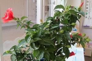 竹田さんのご主人がお世話をしてくれて元気になったハイビスカスが今でも咲いています。\