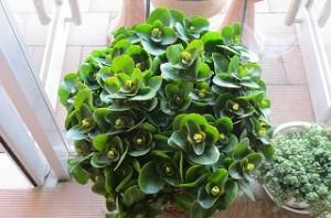 竹田さんが家からたくさんつぼみのついたカランコエを飾って下さいました。花の咲くのが楽しみです。\