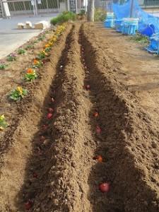 弘済会から頂いた360個のチュ-リップを植えました。\