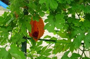 熟した実の中に赤い種が見えます。\