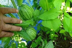 8月の中頃,種を蒔いたスイカです。日に照らされて若々しい緑色が爽やかです。\