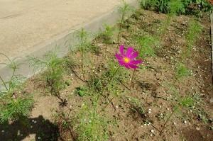 花壇に咲いたコスモス
