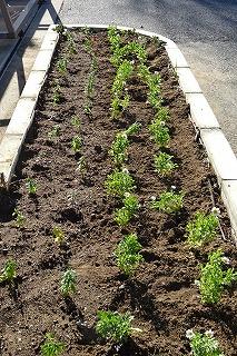「花と緑の農芸財団」算から頂きました。1年生がノースポール,キンギョソウは4・5年生が植えてくれました。\