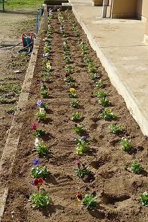「花と緑の農芸財団」さんから頂いたパンジーです。4・5年生が植えてくれました。\