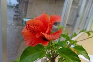 豊津小の職員室で,鉢植えのハイビスカスが一輪,小さな花をつけました。\