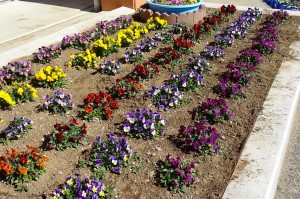 今日の朝,4・5年生が草抜きをしてくれました。ビオラは大きくなり,花もたくさんつけています。\
